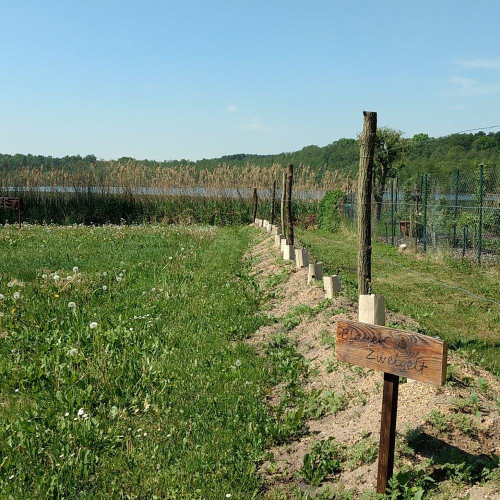 Weinbau Brandenburg Blauer Zweigelt